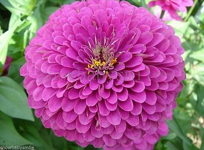 300 Zinnia elegans Seeds Giant Pompon Flower Mixed Colors Garden Heirloom Fresh