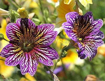 2000 Salpiglossis Sinuata Seeds Painted Tongue Velvet Trumpet Flowers Heirloom