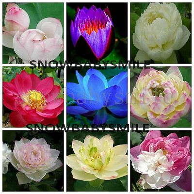 60 Variety Lotus Seeds Bonsai Bowl Nelumbo Nucifera Pond Aquatic Plants Flowers