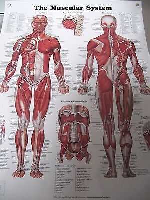 Chart: The Muscular System