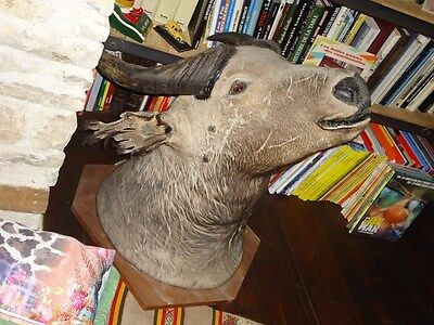 Taxidermie Superbe Enorme Tete De Buffle Haute Volta Taxidermy Trophee 80Cm