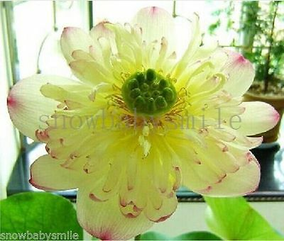 10 Ms Bury Bonsai Lotus Seeds Bowl Nelumbo Nucifera Pond Flower Water Plant