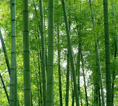 Bamboo seeds 300 +fresh giant moso