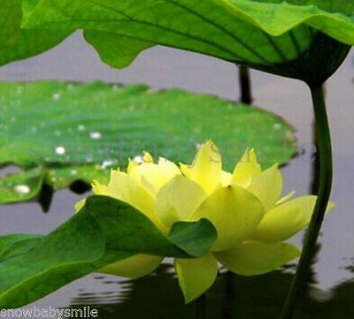 10 Yellow Boat Bonsai Lotus Seeds Bowl Nelumbo Nucifera Pond Flower fragrant