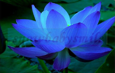 10 Blue Lotus Seeds Nelumbo Nucifera Pond Aquarium Flower Water Plant Fragrant
