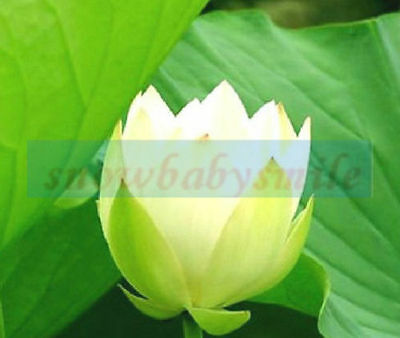 10 Green Wave Bonsai Lotus Seeds Bowl Nelumbo Nucifera Pond Aquarium Flower