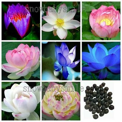 60 Kinds 300 Seeds Bonsai Lotus Seeds Nelumbo Nucifera Flower Pond Water Plant