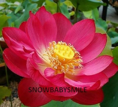 10 Red Lotus Seeds Nelumbo Nucifera Pond Aquarium Flower Water Plant Fragrant