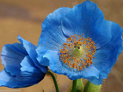 3000 Hardy Iceland Poppy Seeds Arctic Papaver Nudicaule Mixed Flower Perennial