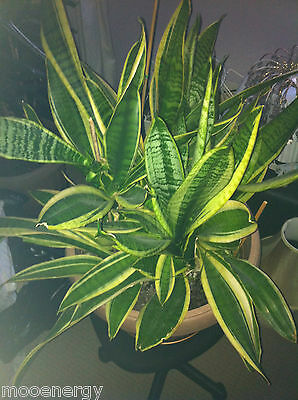 Mother In-Law's Tongue Very Large House Plant.