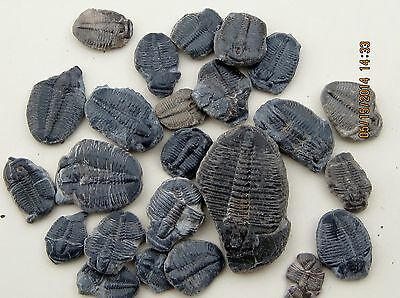 Elrathria Trilobite Fossil Nearly Complete Lot Of 25