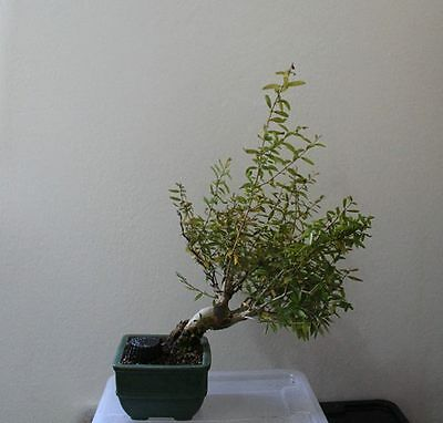 BONSAI Punica granatum MELOGRANO MAME SHOHIN