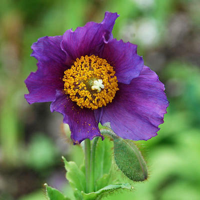 MECONOPSIS BAILEYI 'HENSOL VIOLET' 40 Seeds Hardy Perennial Flower