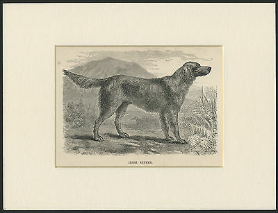 Irish Setter Old Antique Named Dog Engraving / Print Mounted Ready To Frame