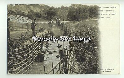an0550 - Sheep - Men getting Wet, Sheep Dipping, on a Farm in Sussex - Postcard