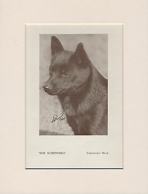 Schipperke Head Study Named Dog Old 1930's Print Mounted Ready To Frame