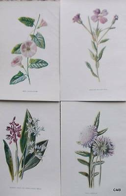 Four Antique Botanical Flower Print 1890s by Hulme -  Pink/Purple - 027