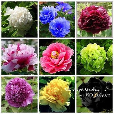 Peony Seeds x 20 Choice of 11 Flower Colours Indoor or Garden Plants UK SELLER