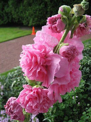 Hollyhock (Alcea Rosea) Chater's Rose 30 Seeds