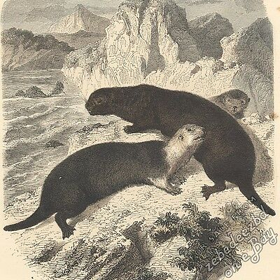 Sea Otters: antique 1866 hand-coloured engraving print marine animal art picture
