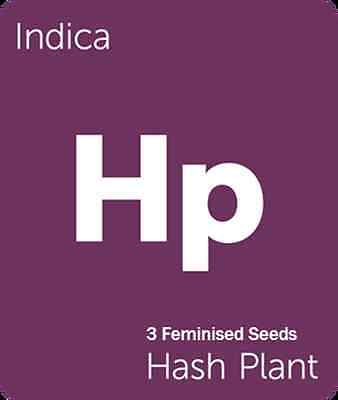 3 X Hash Plant Feminized Seeds From Professional Breeder