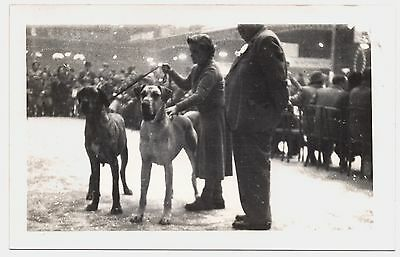 Great Dane Named Dogs At Show Old Vintage  Real Photo
