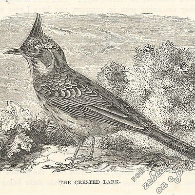 Crested Lark: antique 1866 engraving print - bird picture animal, drawing nature