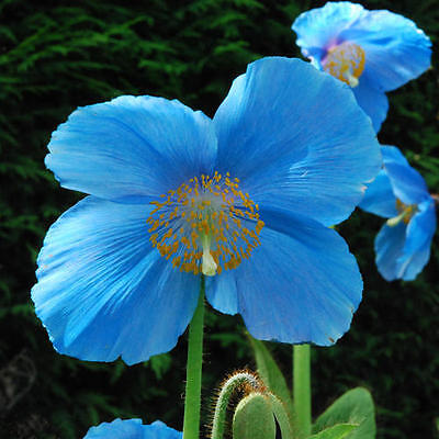 Meconopsis 'Lingholm' Blue Poppy (Ex M. Grandis) 10 Seeds  Hardy Perennial