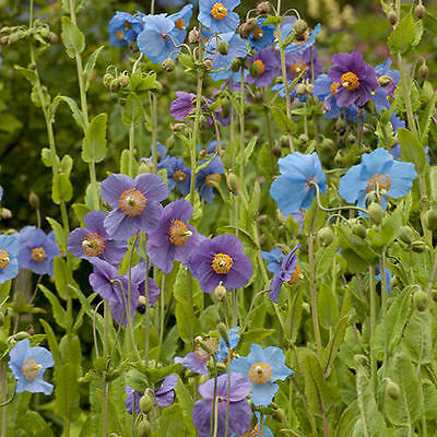 Meconopsis Baileyi 'Shades of Blue' 50 Seeds Hardy Perennial Flower