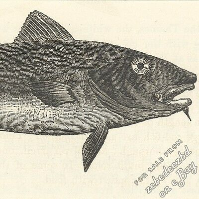 Cod Fish: antique 1866 engraving print art animal nature picture artwork drawing