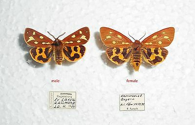 HYPHORAIA AULICA*pair*GERMANY