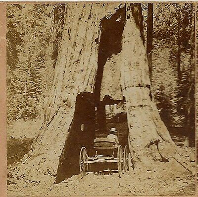 Wagon in the Road through Great Tree Mariposa Grove, CA 1897 Stereoview