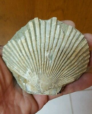 Fossil Scallop From Oregon