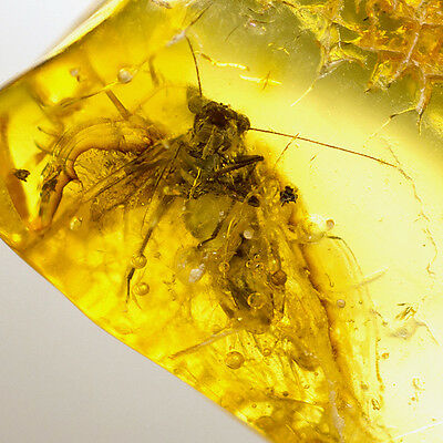 Fossil Insect inside Baltic Amber Inclusion