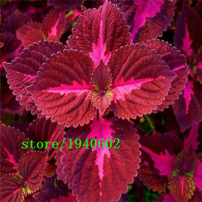 Coleus Rainbow Dragon Seeds x 200 Great Colours Schemes  UK SELLER Free P & P