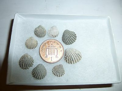 BRITISH  FOSSIL  EOCENE BIVALVES  Cardita sulcata  sp   HAMPSHIRE  UK.