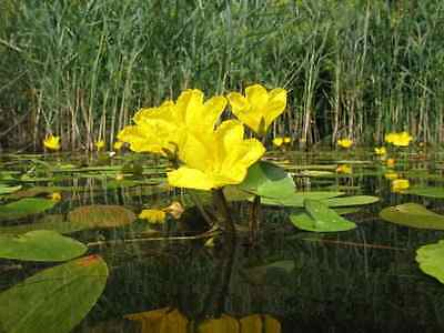 4 NYMPHOIDES PELTATA (fringed water lily) POND PLANTS