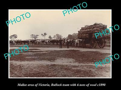 OLD LARGE HISTORIC PHOTO OF BULLOCK TEAM CARTING 6 TON OF WOOL, MALLEE c1890