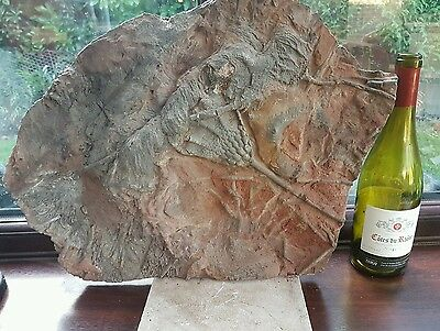 VERY LARGE HIGHLY DETAILED CRINOID SLAB 20in x 15in
