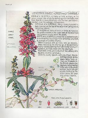 Loosestrife Family- Wild Flower Botanical Print by Isabel Adams - Antique Print