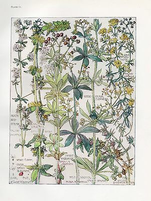 Lady's Bedstraw- Wild Flower Botanical Print by Isabel Adams - Antique Print