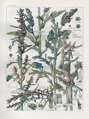 Goose Foot Family- Wild Flower Botanical Print by Isabel Adams - Antique Print