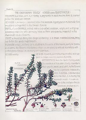 Crowberry Family- Wild Flower Botanical Print by Isabel Adams - Antique Print
