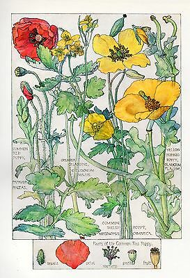 Red and Yellow Poppy -Wild Flower Botanical Print - Isabel Adams - Antique Print