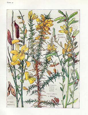 Broom and Gorse - Botanical Print by Isabel Adams - Antique Print