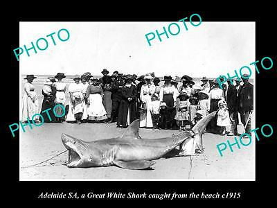 OLD LARGE HISTORIC PHOTO OF ADELAIDE, GREAT WHITE SHARK CAUGHT FROM BEACH c1915