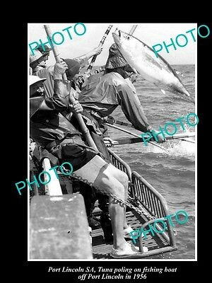 Old Large Historical Fishing Photo Of Tuna Poling From Boat Port Lincoln Sa 1956