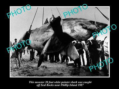 OLD LARGE PHOTO OF HUGE GREAT WHITE SHARK CAUGHT OFF PHILLIP ISLAND, VIC c1987