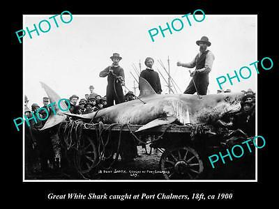 OLD LARGE HISTORICAL GAME FISHING PHOTO OF GREAT WHITE SHARK CATCH c1900 NZ