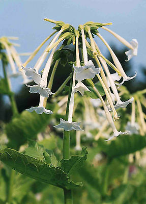 Nicotiana 'White Trumpets' 4000 Seeds HH Annual